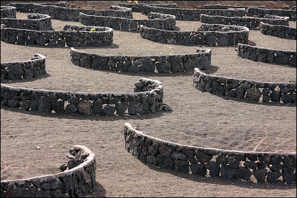 Vineyard with lava walls to protect the vines from the wind, Lanzarote, Steve Chilton,