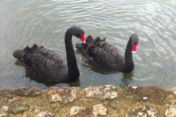 Cisnes negros