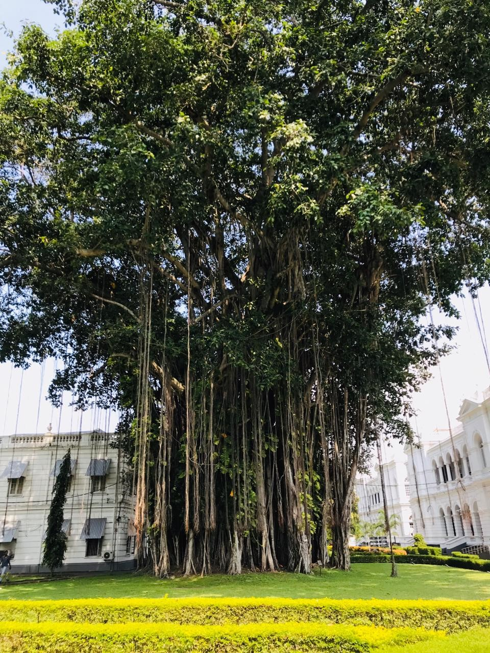 Banyan Tree in the premises of the National Museum of Colombo